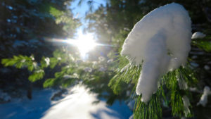 Snow covers the end of a white pine branch, with the sun shining brightly in the background. On the carriage roads of Acadia National Park in the winter.
