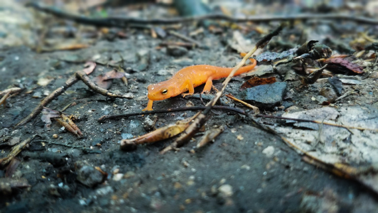 photo of a juvenile eastern newt