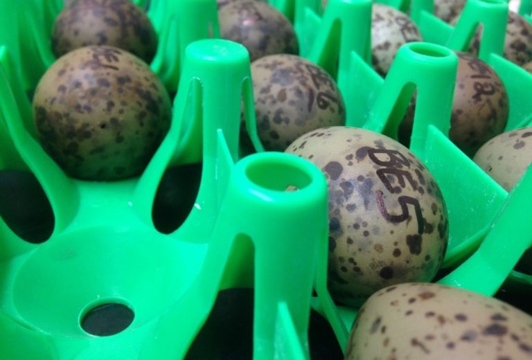 Gull eggs labeled and ready to be incubated for an experiment.