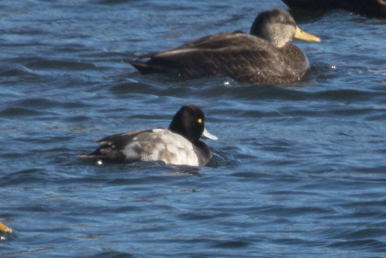One of the rarer sightings of the Schoodic Point CBC on January 1 was this Lesser Scaup (foreground) photographed by Chuck Whitney.