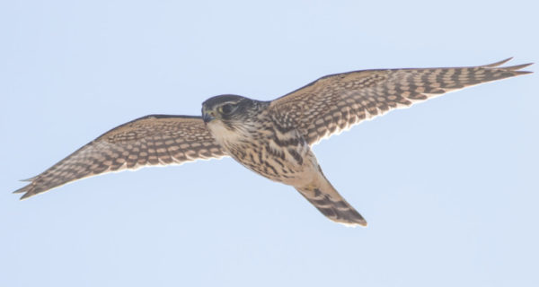photo of peregrine falcon flying