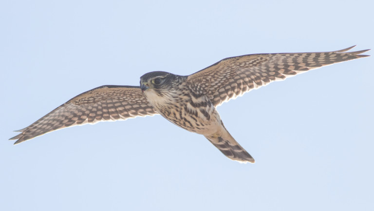 photo of peregrine falcon flying