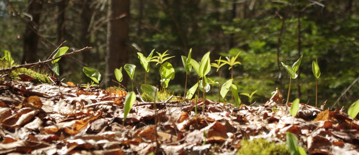 Understory The Future Forest Of Acadia Part 1 Schoodic Institute