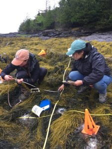 Women crouch on the rockweed with measuring tapes.