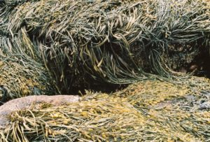 Close-up of rockweed draped over rocks