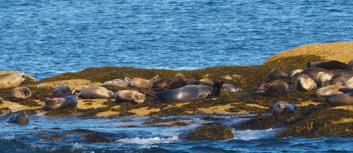 photo of harbor seals sleeping on rocky seaweed