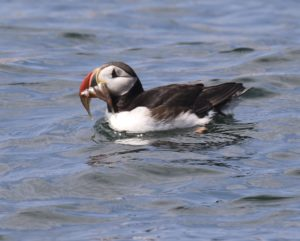 Puffin sitting on water with fish in its beak