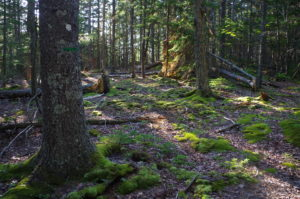 photo of maine forest trees