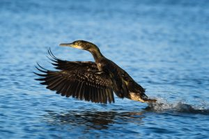 Comorant takes flight from water, wings forward
