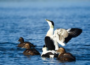 Group of three female and two male eiders on water, one male stretching its wings