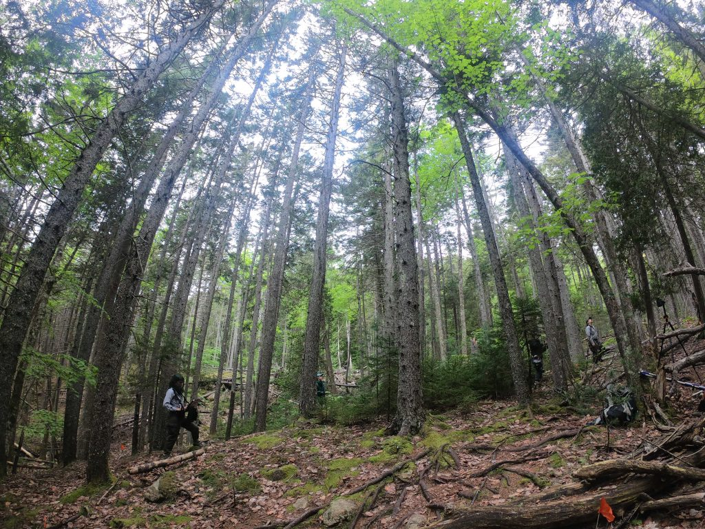 Four members of the forest crew amid tall trees in Acadia