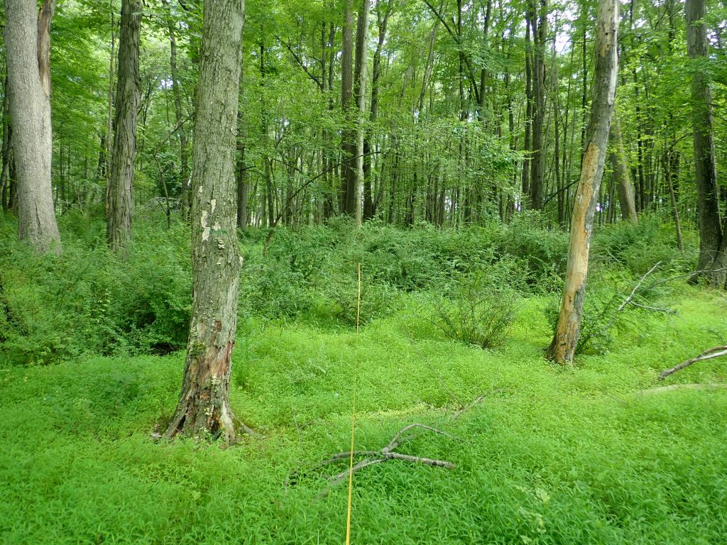 Forest with understory of invasive shrubs