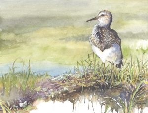 watercolor painting of a shorebird by MIchael Boardman
