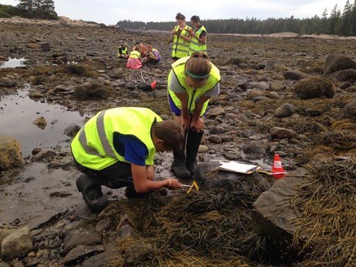 two students measure seaweed on rocks at low tide, more students and ocean in background