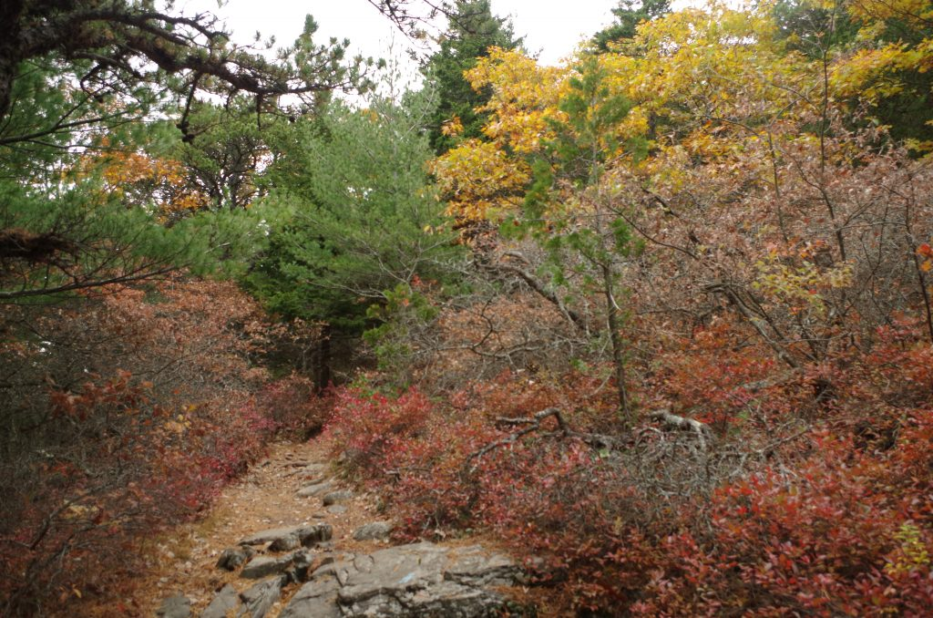 Low shrubby rust-colored scrub oaks lining a trail