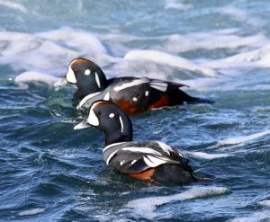 Two harlequin ducks in dark blue ocean waves