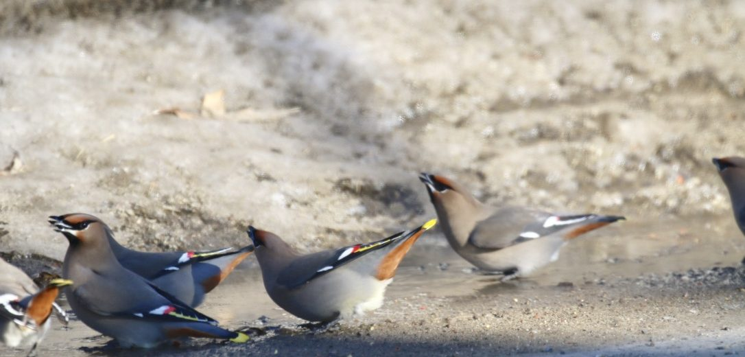 a group of waxwings on pavement with snow in background