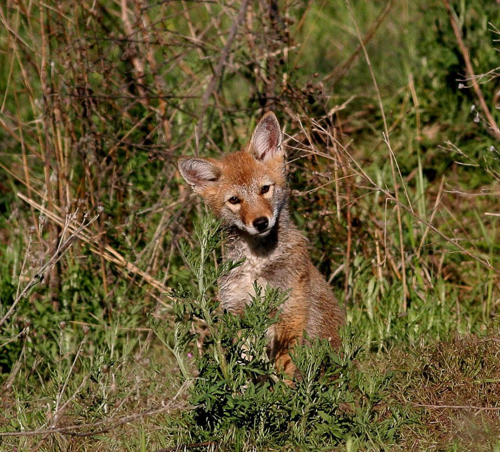 Coyote pup in grass
