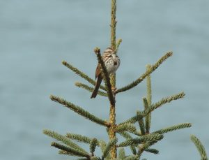 A song sparrow on a spruce tree