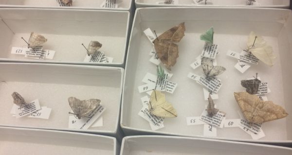 moth specimes pinned in boxes with labels