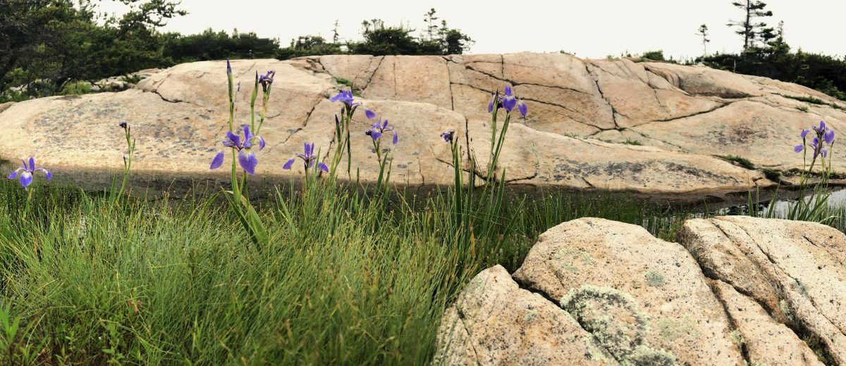 Seaside irises in a pocket wetland along the Schoodic shoreline
