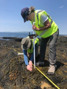 Two people measure rockweed with ocean in background