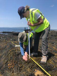 Two people measure rockweed with ocean in background