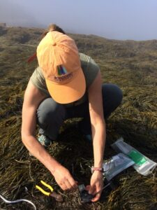 Hannah Webber adjusting a temperature logger in the rockweed bed