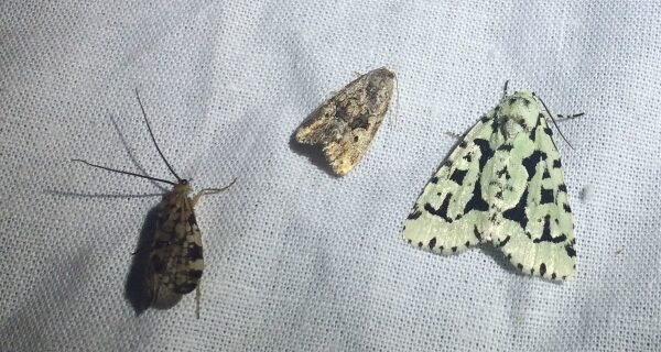 Three different patterned moths on a white sheet