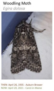 A moth with mottled wing pattern