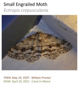 A small engrailed moth