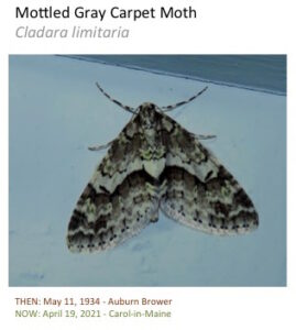 A mottled moth with bold pattern.