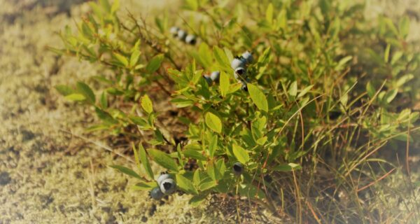 a close up of low-bush blueberries growing on granite