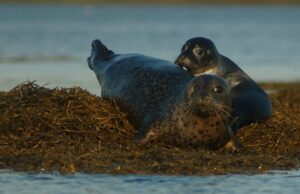 Mother and pup harbor seal in seaweed
