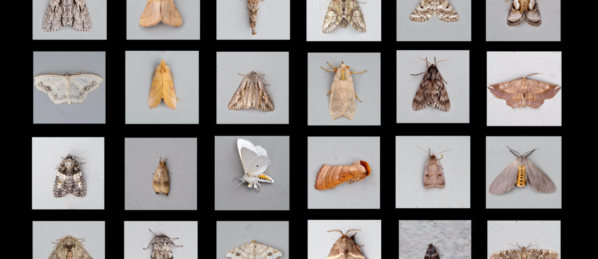 An array of 24 moth images