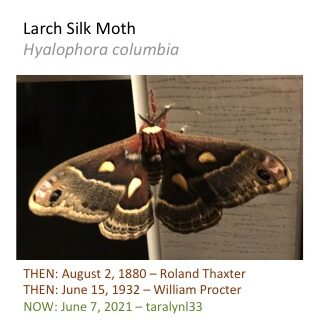 A large brown moth with spots and curvy lines.