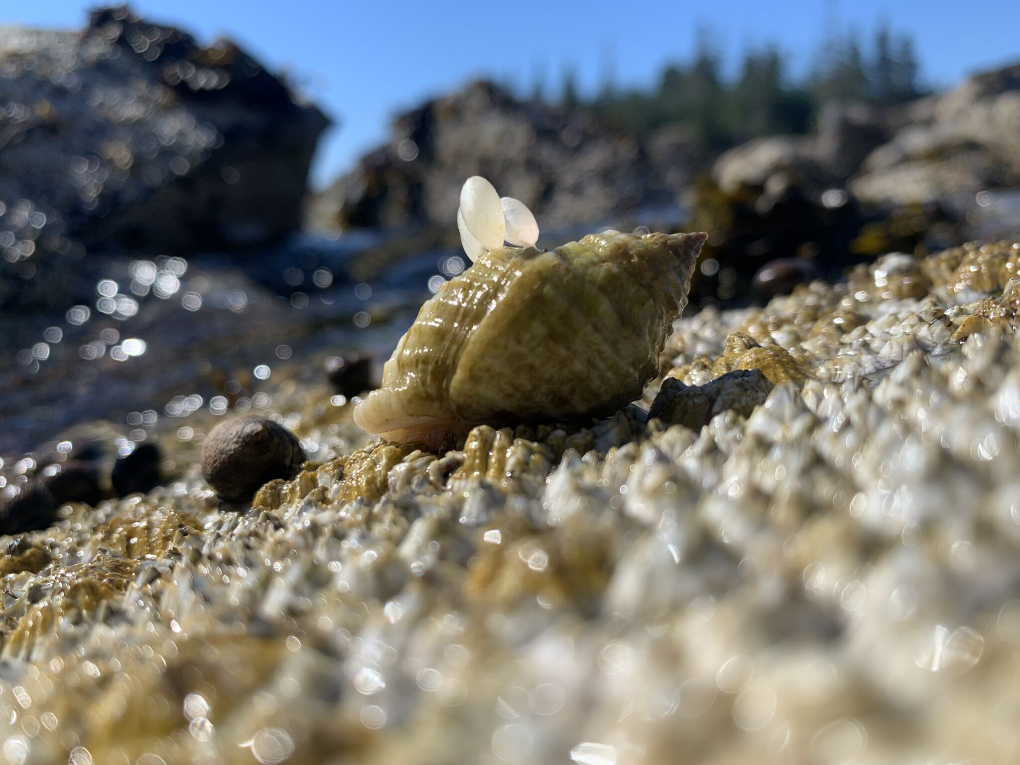 Close-up of a dog whelk shell with egg cases attached.