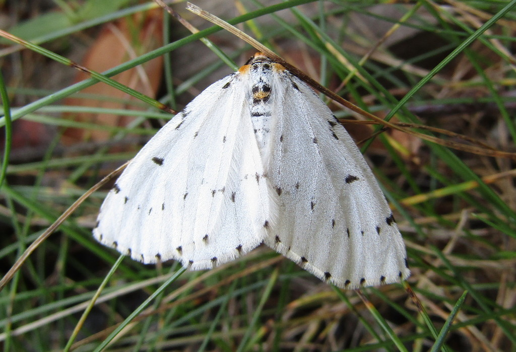 In the grass is a white moth lined with black spots and yellow on its head.
